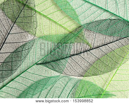 Closeup of green mulberry leaves skeletons for background