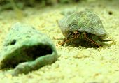 Marine hermit crab going for a shell change. poster