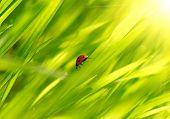 Ladybug on  green grass poster