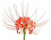 Single red spider lily flower cluster isolated over a white background poster