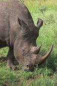 Rhino close-up whire rhino grazing on new green grass poster