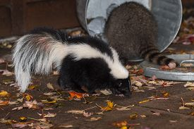 Skunk (Mephitis mphitis) Walks Past Raccoon (Procyon lotor) in Trash - captive animals