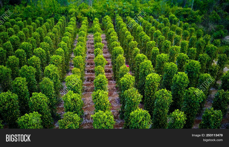 Black Pepper Plants Image & Photo (Free Trial) | Bigstock