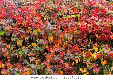 Colorful Texture Of Ivy Plant On The Wall. Wonderful Autumn Background