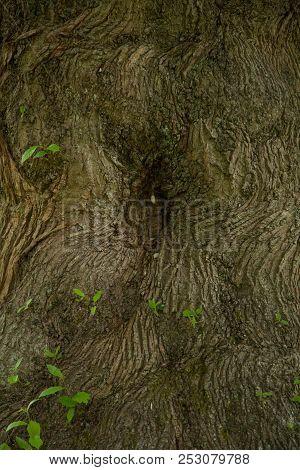 Closeup Photo Of A Old Oak Tree