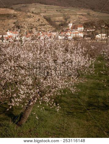 apricot blossom (apricot blossom) in wachau, austria