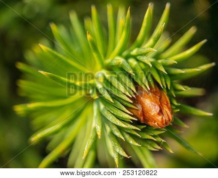 Young spruce shoots macro close up