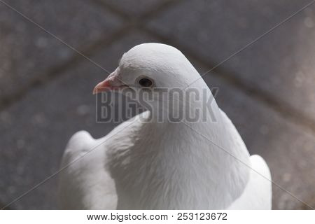 Close-up Portrait White Dove Sits On The Sidewalk