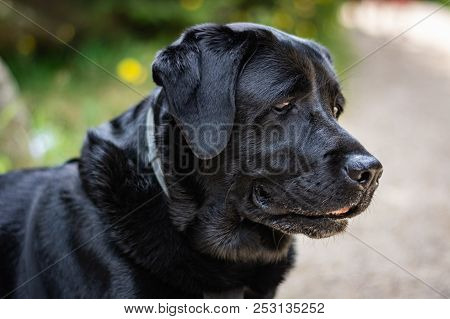 Portrait Of A Black Labrador Retriever Looking On The Path On The Sunny Day In Summer