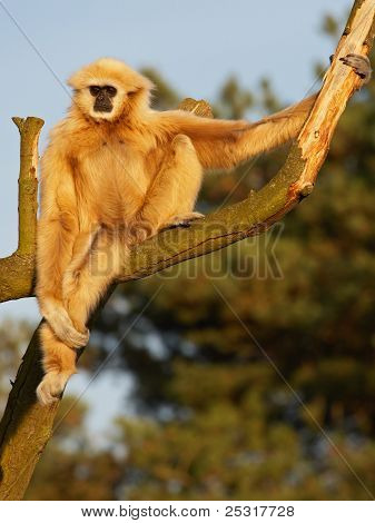 White Handed Gibbon High In A Tree