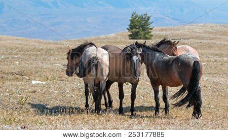 Small Herd Of Wild Horses On Sykes Ridge In The Pryor Mountains Wild Horse Range In Montana United S
