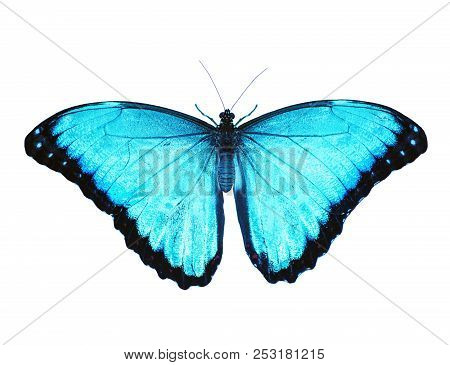 Blue morpho butterfly isolated on white background. Spread wings, color enhanced poster