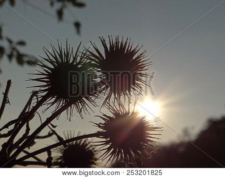 Thistle In The Sunset At The Lake, Edersse, Kellerwald