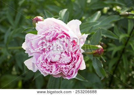 Big Beautiful Pink Flower Of Garden Peony