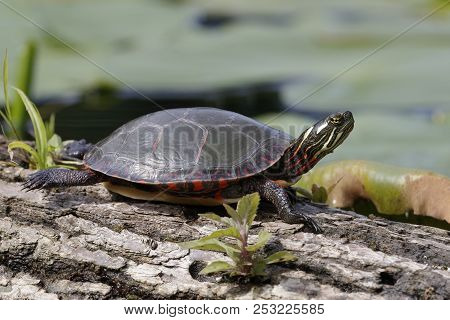 Midland Painted Turtle (Chrysema picta marginata) basking on a log - Pinery Provincial Park, Ontario, Canada poster