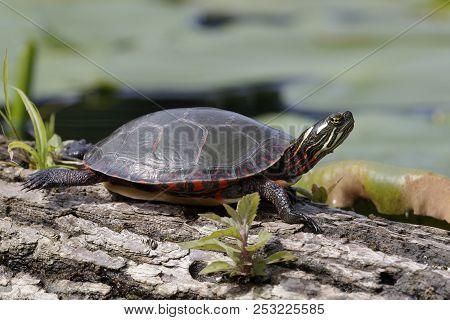 Midland Painted Turtle (chrysema Picta Marginata) Basking On A Log - Pinery Provincial Park, Ontario