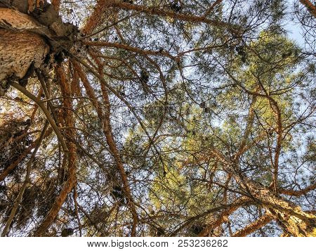Beautiful Old Conifers With Cones Against The Sky. View From The Bottom To The Top.