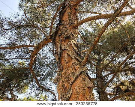 Beautiful Old Conifer Against The Sky. Close Up View Trunk Of A Pine Tree With Strobiles
