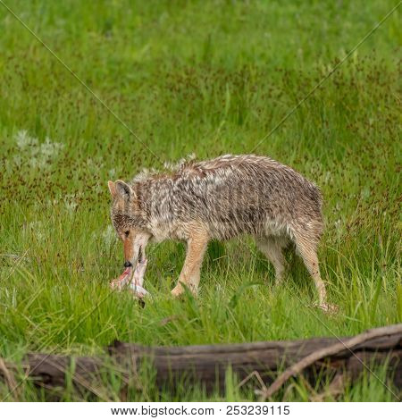 Profile Of Coyote Eating Piece Of Meat In Green Field