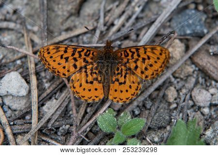 Orange Frittallary Butterfly On Forest Floor With Wings Spread