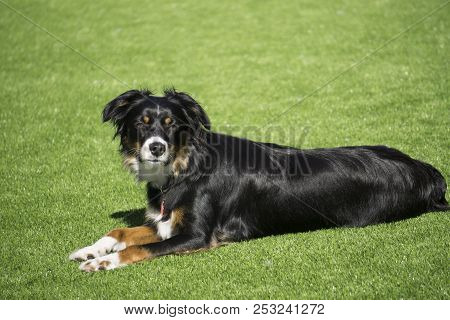 This Is An Image Of A Black Tri Aussie Laying In The Grass On A Sunny Afternoon
