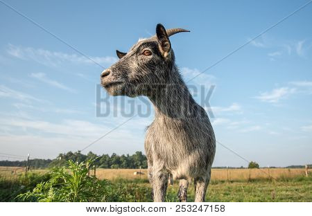 A Blue Pygmy Goat Watches Over The Farm.