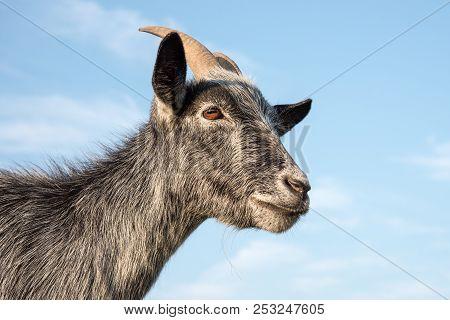 A Grey And Black Pygmy Goat Head