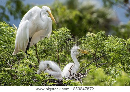 A White Heron Watches Over Her Chicks In Th Enest.