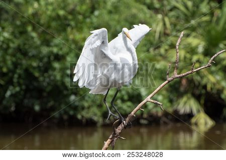 A White Heron Lands On A Branch.