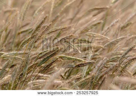 Summertime Rye Ears In Motion Blurr, Podlasie Region,poland,europe