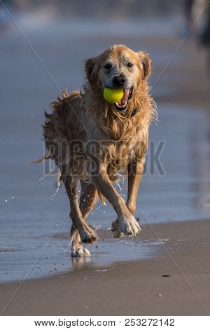 Excited Golden Retriever Runnings Along Beach Shoreline With Fetched Tennis Ball In Mouth.