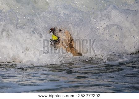 Golden Retriever Hanging On To Ball And Keeping Head Above White Water While Playing Fetch With Tenn