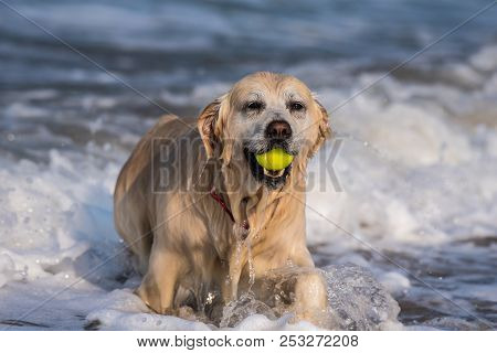 Dripping Wet Golden Retriever Emerging From Shallow Ocean Water With Fetched Tennis Ball Firmly In M