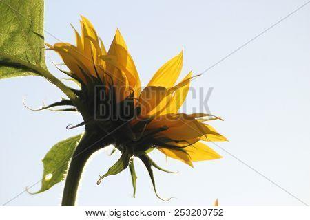 Sunflowers In The Sun In A Garden In Nieuwerkerk Aan Den Ijssel In Netherlands.