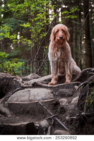 Happy Dog, Labradoodle, Going For A Forest Walk.