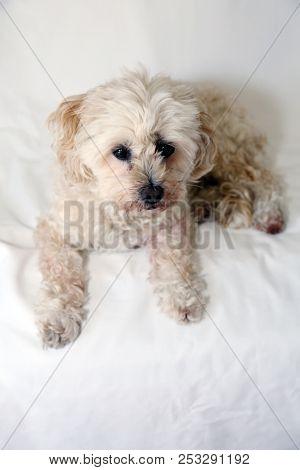 small tan poodle dog. scruffy dog. small dog. lapdog
