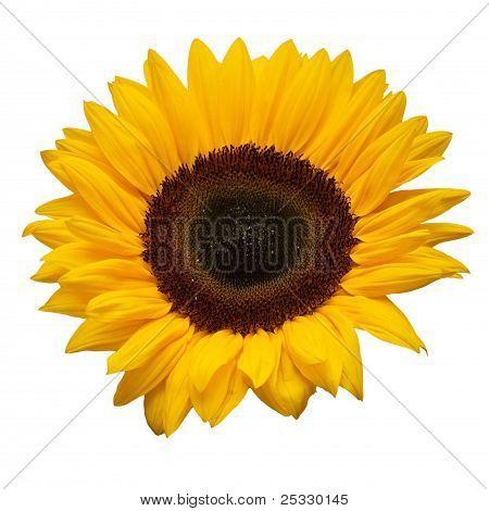 Beautiful Yellow Sunflower On White Close Up