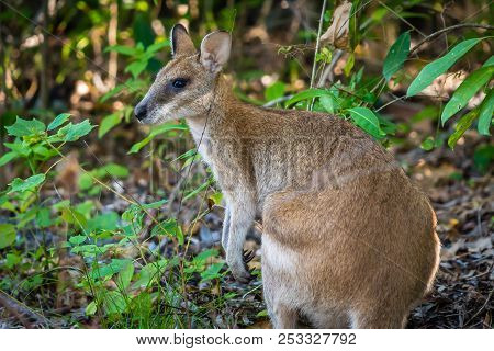 Close Up Shot Of A Wallaby In Cape Hillsborough National Park, Queensland