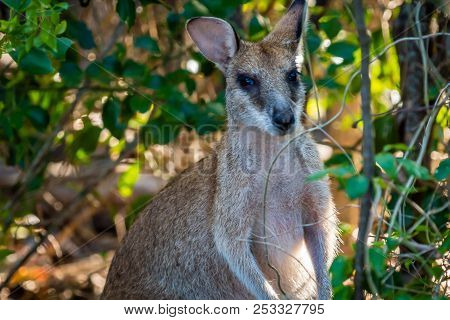 Wallaby Looking At The Camera In Cape Hillsborough National Park, Queensland, Australia