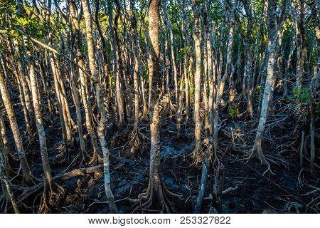 Mangrove Boardwalk In Cape Hillsborough National Park, Australia