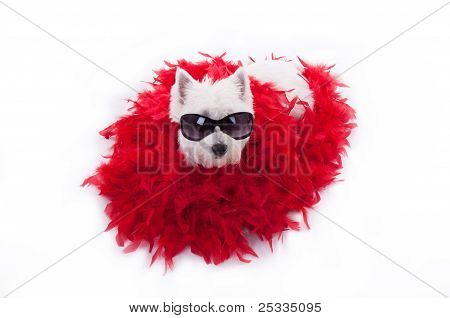 westie terrier with red shawl