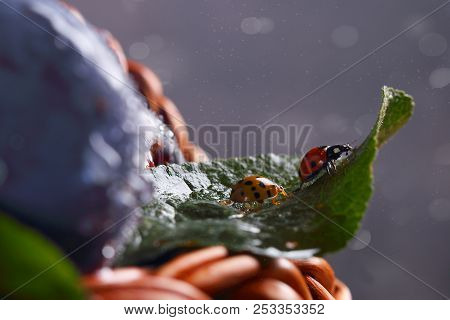 Two Ladybugs On The Leaf Of A Fruit Tree