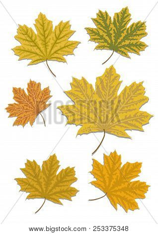 Mapple Leaves Isolated On White Background. Autumn Colours.