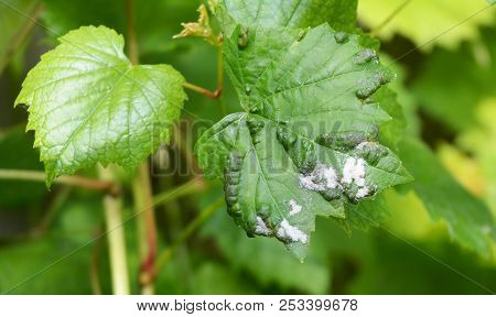 Grapevine Diseases. Downy Mildew (plasmopara Vitikola) Is A Fungal Disease That Affects A Grape Leav