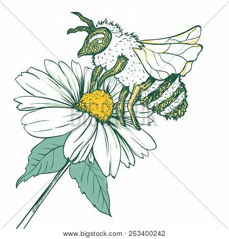 Entomology Sketch Illustration With Bee Or Wasp And Camomile Flower. Blossoming And Pollination. Bot