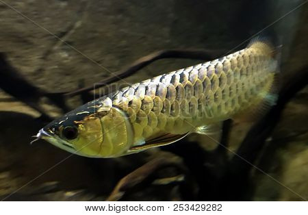 Arowanas Are Freshwater Bony Fish Of The Family Osteoglossidae, Also Known As Bonytongues.