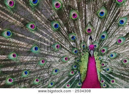 Peacock with his tail feathers on display to attract a mate in unreal beautiful colors. poster
