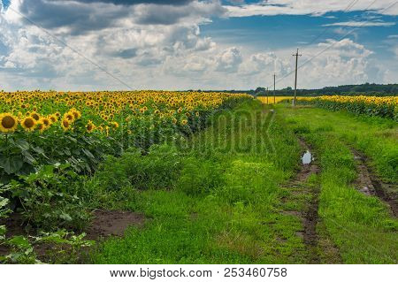 Pictorial Landscape With An Earth Road Among Unripe Sunflower  Agricultural Fields In Poltavskaya Ob