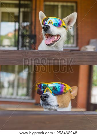 Portrait Of White Cross-breed Dog And Basenji Dog In Chameleon Sunglasses Peeping Out From The Balco