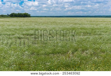 Summer Landscape With Blooming Coriander Field In Poltavskaya Oblast, Ukraine